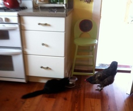 Cat and chicken sharing breakfast