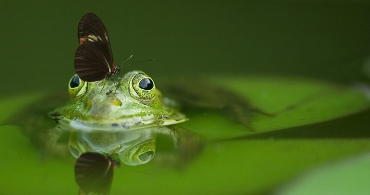 Image: butterfly on green frog in a pond